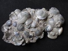 Cerastoderma edule (Linnaeus 1798)