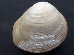 Crassatella ponderosa (Gmelin 1791)