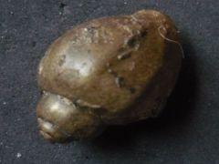 Euthriofusus (Wrigleya) regularis (J.Sowerby 1818)