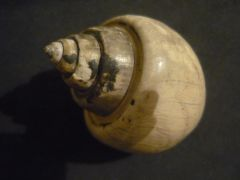 Ampullina (Pseudamaura) bulbiformis (Sowerby 1831)