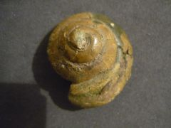 Chelotia puncticulosa (Guembel)