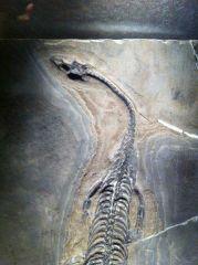 Keichousaurus Hui 02 (Head & Neck)