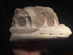 Halisaurus Jaw (Large)
