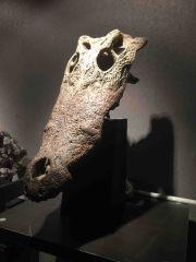 Crocodylus porosus Skull