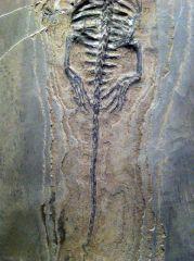Keichousaurus hui 04 (Tail)