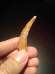 Pterosaur tooth