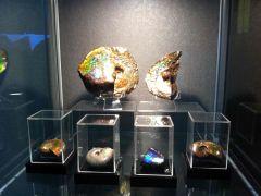 Ammolites & Iridescent Ammonites
