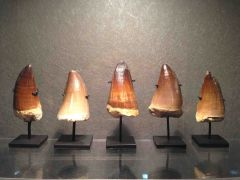 Mosasaur Large Teeth Crowns collection