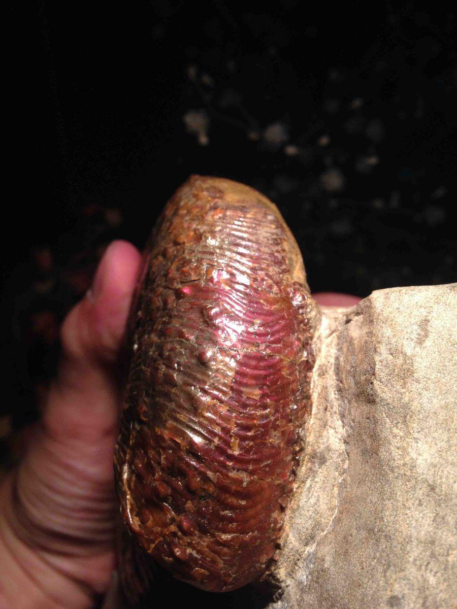South Dakota Ammonite - Hoploscaphite comprimus