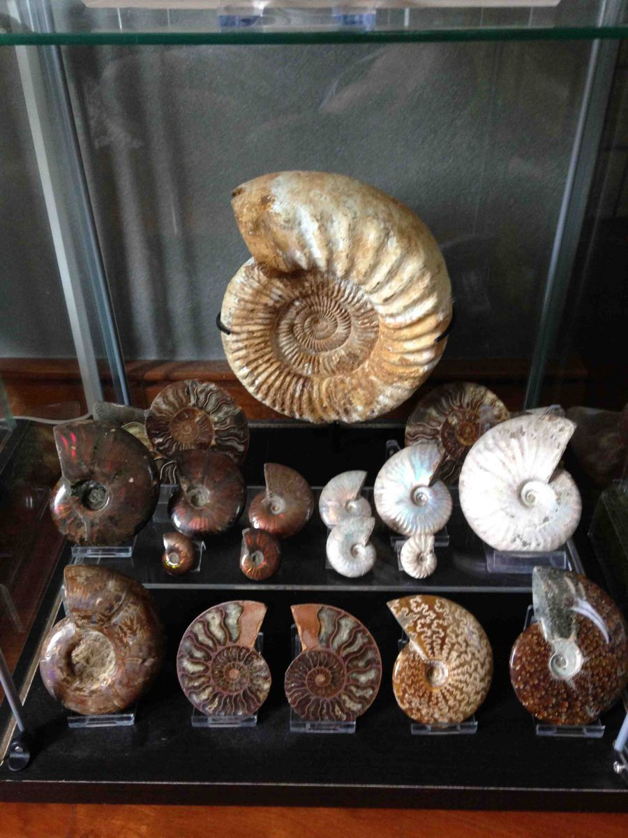 Madagascan Ammonites Collection