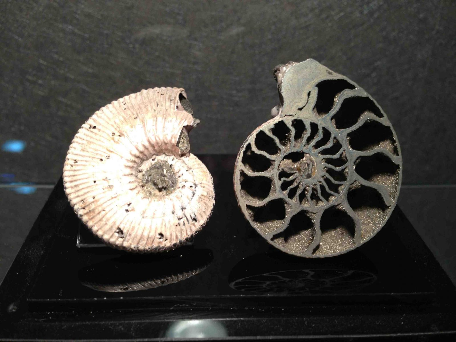 Russian Pyrite Ammonites
