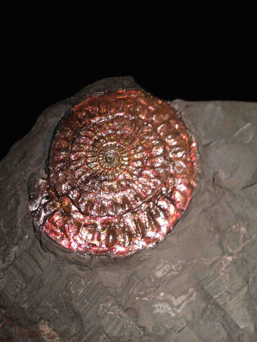 Caloceras johnstoni (Red)