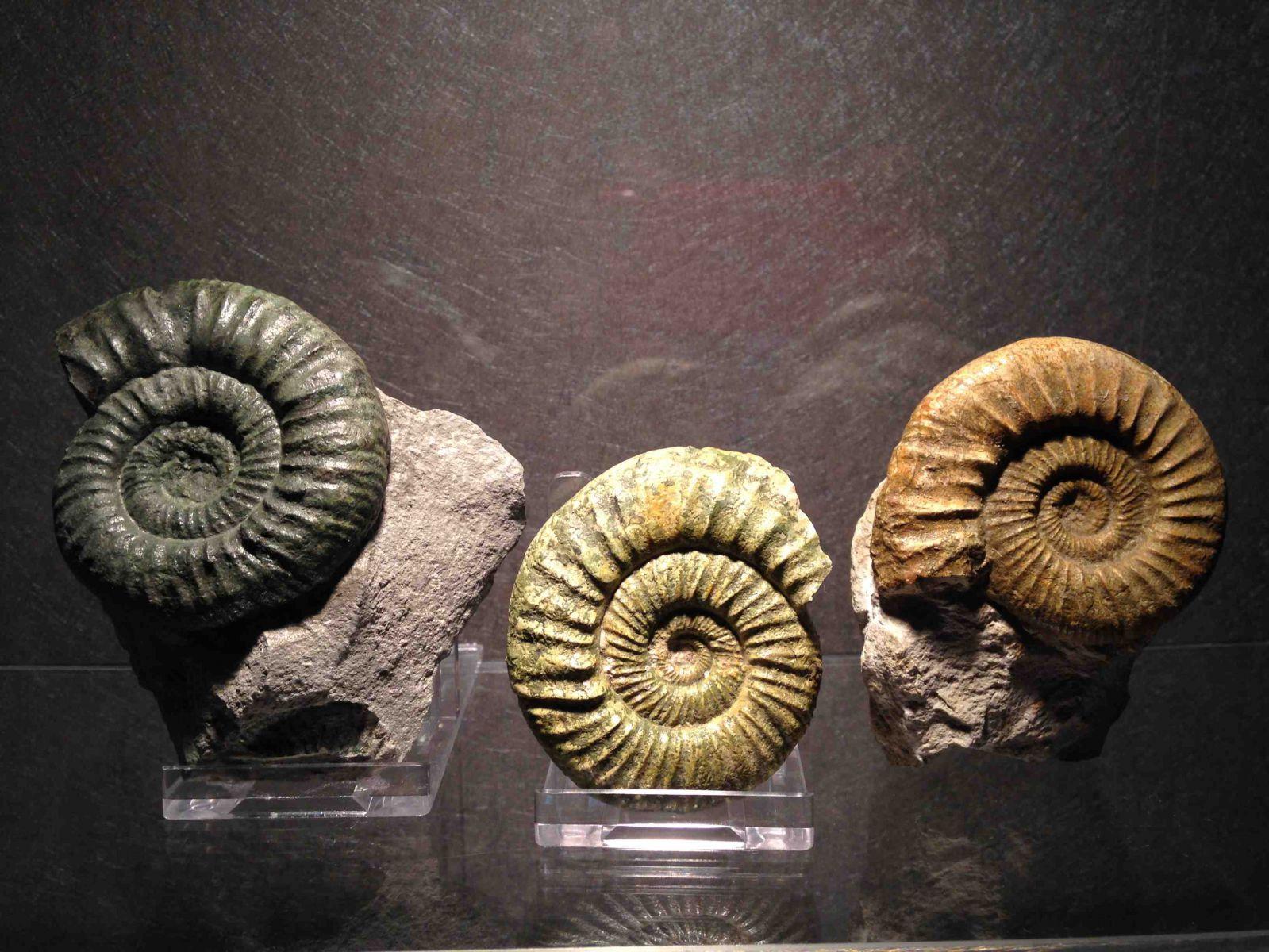 Orthosphinctes ammonites Trio