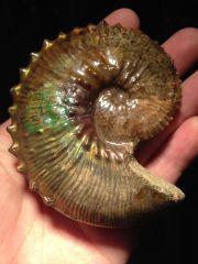 South Dakota Ammonite - Jeletzkytes sp.
