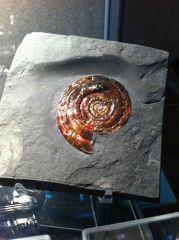 Psiloceras planobis (Red) 02