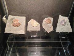 British Ammolite Collection