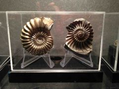 Pleuroceras ammonite
