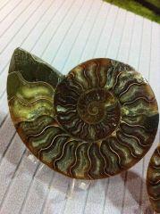 Cleoniceras Ammonite Split (Details)