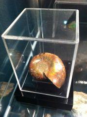 Cleoniceras Ammonite (Iridescent)