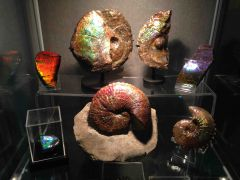 North American Ammonites Collection