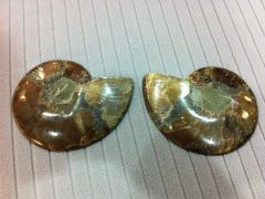Cleoniceras Ammonite Split 02 (backside)
