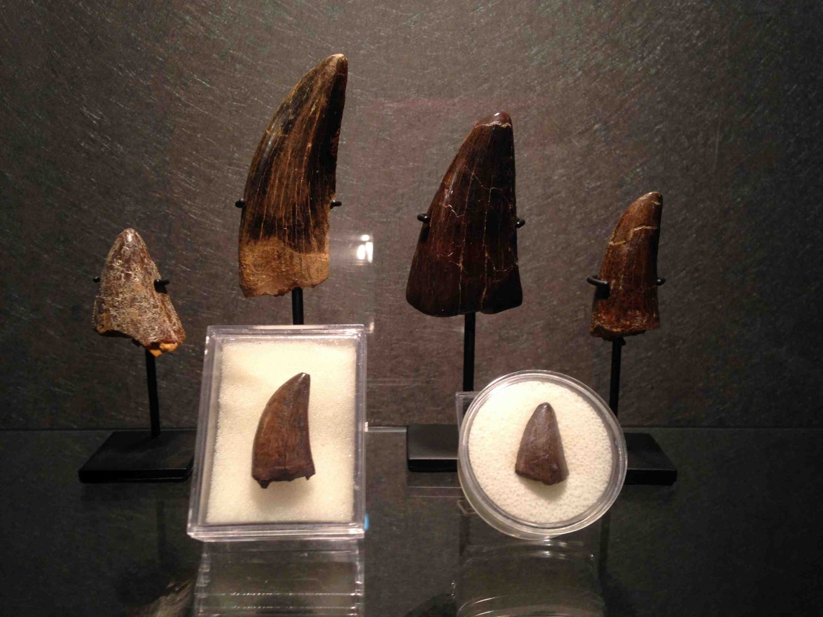 Tyrannosaurs teeth Collection