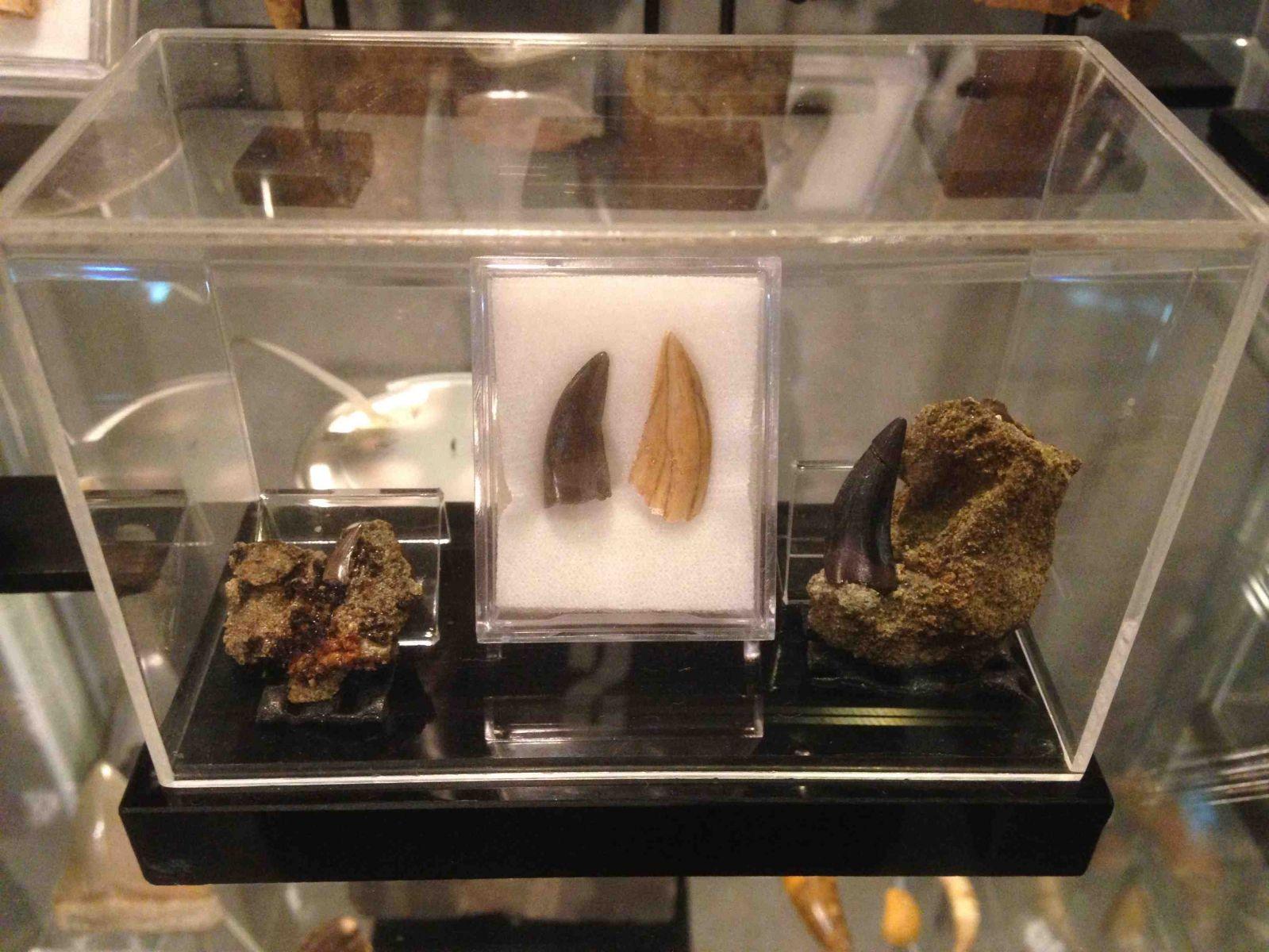 Dromaeosaur Teeth Collection