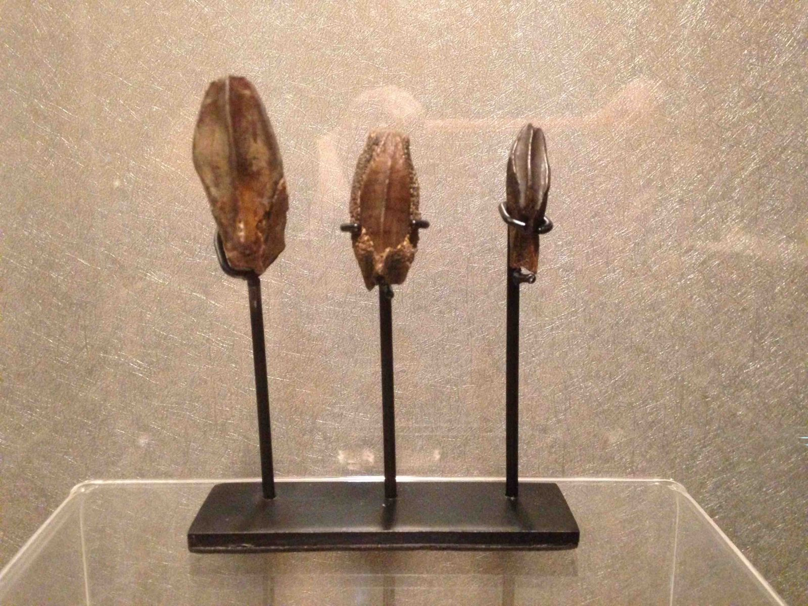 Hadrosaur teeth growth series