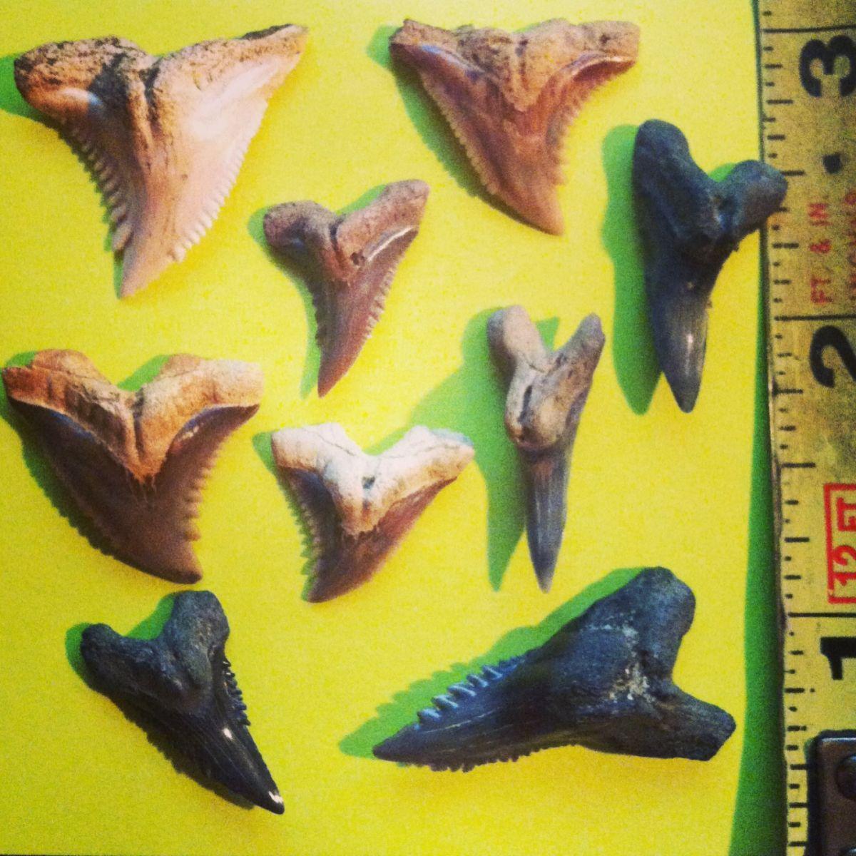 Hemipristis teeth in various colors