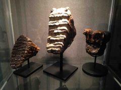 Proboscidean Fossil Teeth