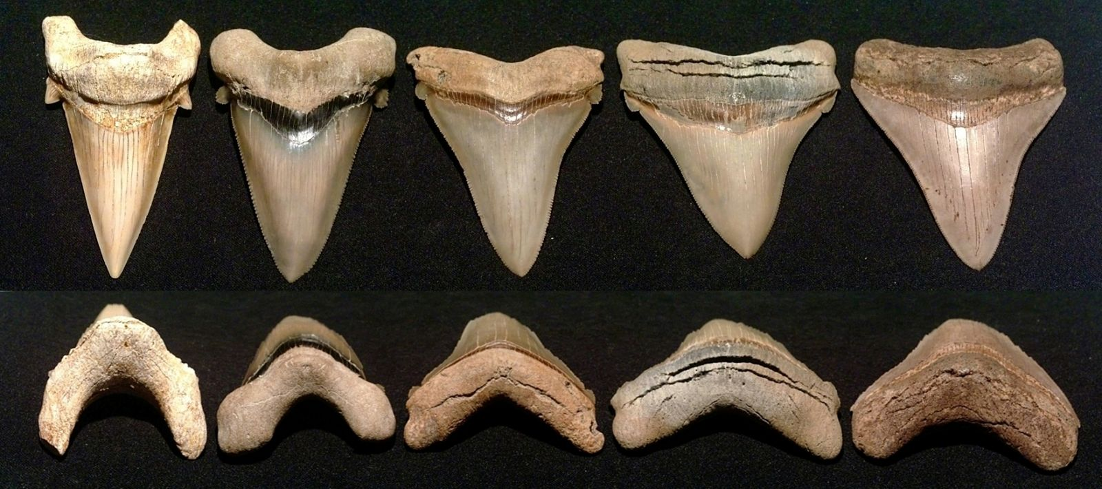 C. Megalodon Evolution - 3.4 to 3.5 inch Teeth examples.