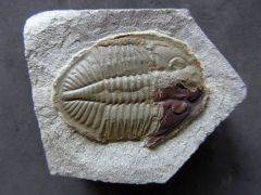 Ogyginus corndensis (Murchison 1839)