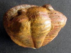Plesiomegalaspis graffi (Thoral 1946)