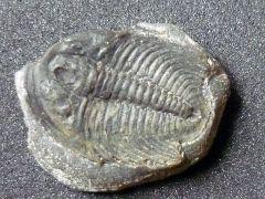 Labiostria westropi (Palmer 1954) ?