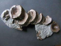 Ichthyosaurus sp. (Koenig 1818)