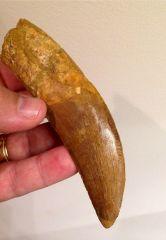 5 3/8 inch Moroccan Carcharodontosaurus saharicus tooth