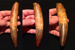 7 inch Spinosaurus tooth