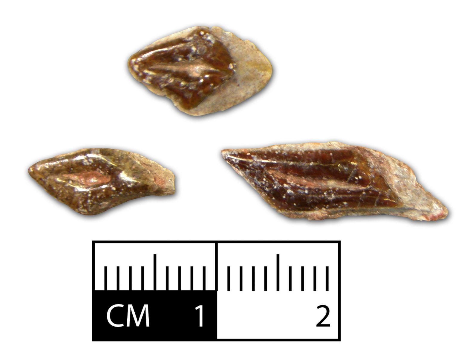 Dentilepisosteus kemkemensis Scales