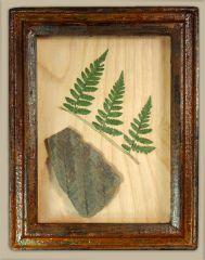 Fern Fossil in handmade Display Box