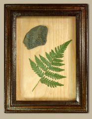 Alethopteris in handmade display box