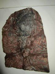 Scyphocrinites. sp