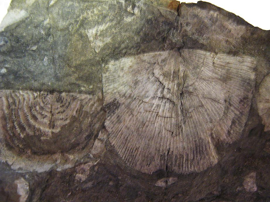 Lower Devonian Brachiopods