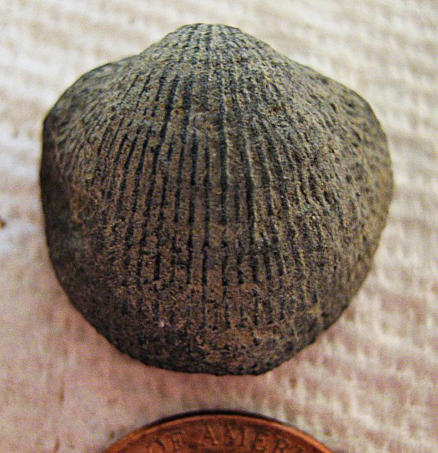 Atrypa brachiopod (close up)