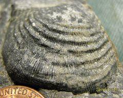 Lower Devonian Brachiopod from Trilobite Ridge, NJ.
