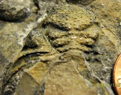Lower Devonian Trilobite Cephalon from Trilobite Ridge, N.J.