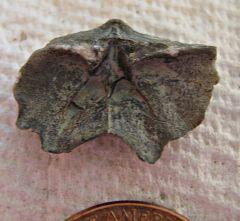 Macropleura Brachiopod