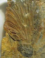 Lower Devonian Bryozoan Seen in Cross Section