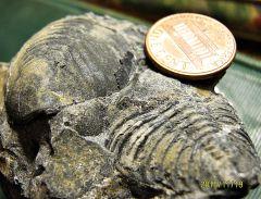 Two Lower Devonian Trilobite Pygidiums
