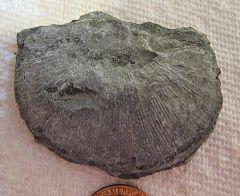 Strophonella Brachiopod