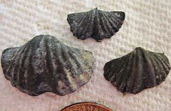 Spirifer Brachiopods